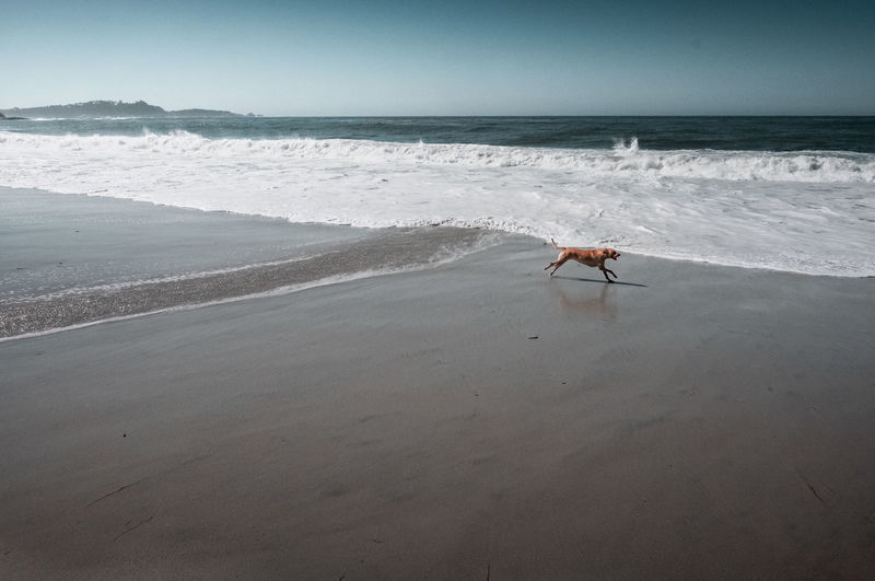 Scenic view of sea with dog running at beach against sky