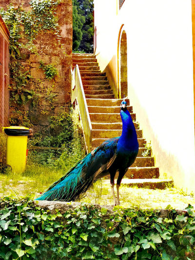 High angle view of a peacock on building