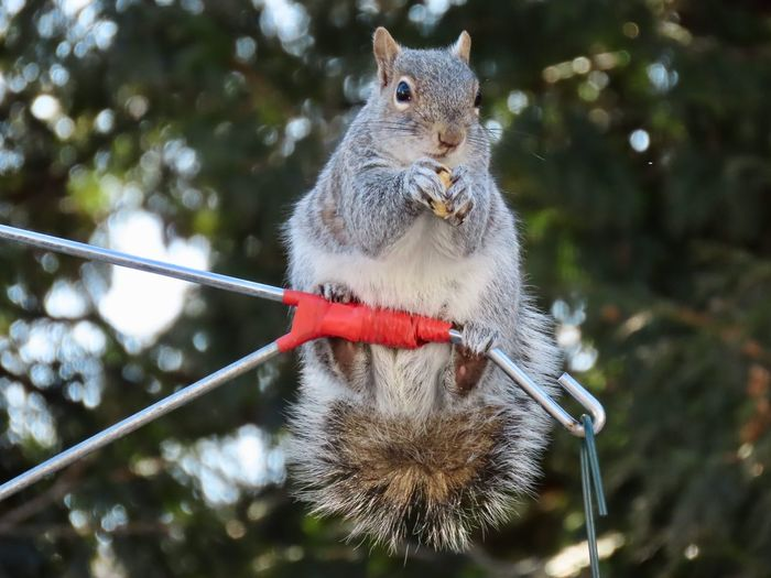 Balancing act squirrel on a wire eating a peanut EyeEm nature lover outdoors animal themes Animal Wildlife One Animal Rodent Focus On Foreground Squirrel