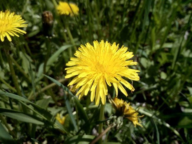 Flower Summer Dandelion Nature