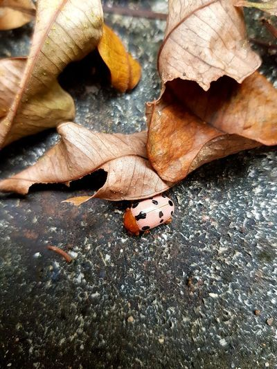 An Autumn Lady Lady Ladybug Ladybird Insect Pink Leaves Leaf Brown Rustle Autumn Fall Nature Outdoors Animals In The Wild Animal Wildlife Closeup Micro Close-up