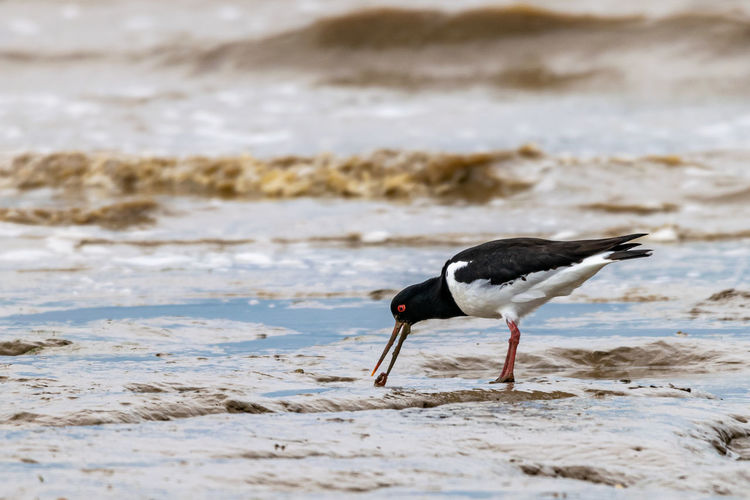 Oyster catcher, haematopus ostralegus, with a worm from mud flats of bradwell on sea, essex