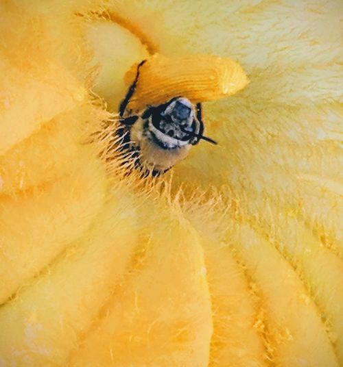 Honeybee in flower Pollen Bee Honey Bee Pollen Pollination Pollinators Full Frame Sensory Perception Close-up Animal Eye Blooming