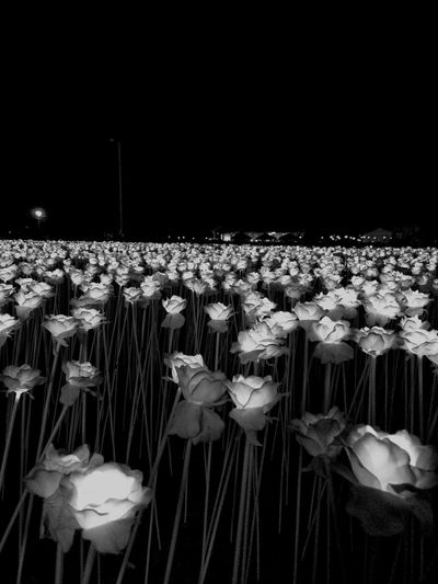 10000 Roses Flower Rose - Flower No People Night Outdoors Flower Head Black And White Photography Best Shots EyeEm For Sale Best Photography Best Shots EyeEmNewHere Break The Mold EyeEmNewHere The Great Outdoors - 2017 EyeEm Awards The Photojournalist - 2017 EyeEm Awards