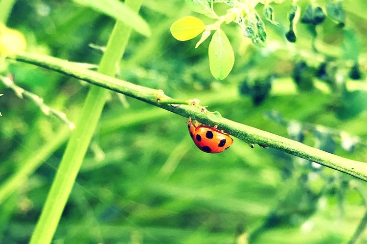 Ladybug One Animal Animals In The Wild Insect Animal Themes Red Wildlife Close-up Day Nature Tiny Outdoors Focus On Foreground Plant No People Leaf Animal Wildlife Fragility Beauty In Nature IPhoneography In The Garden🌳🌱 Freshness