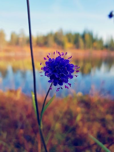 Purple Flower Flower Head Close-up Freshness No People Nature Beauty In Nature Day