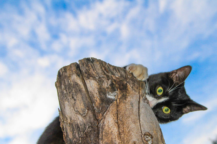 Black and white cat peeking over the top of an old tree trunk Black And White Black And White Cat Blue Cat Cat Eyes Cloud Cloud - Sky Clouds And Sky Day Ears Feline Focus On Foreground Log Low Angle View Mammal No People Outdoors Paw Pee Peekaboo Sky Tree Trunk Whisker Whiskers Wooden Log