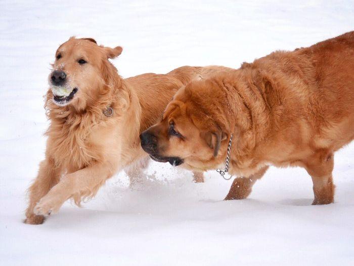Golden Retriever Dogs On Snow