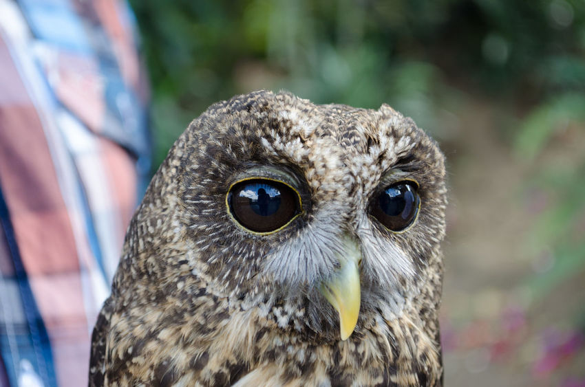 Reflection on his eyes. Pet Portraits Animal Themes Animal Wildlife Animals In The Wild Beak Bird Bird Of Prey Close-up Day Focus On Foreground Looking At Camera Nature No People One Animal Outdoors Owl Portrait