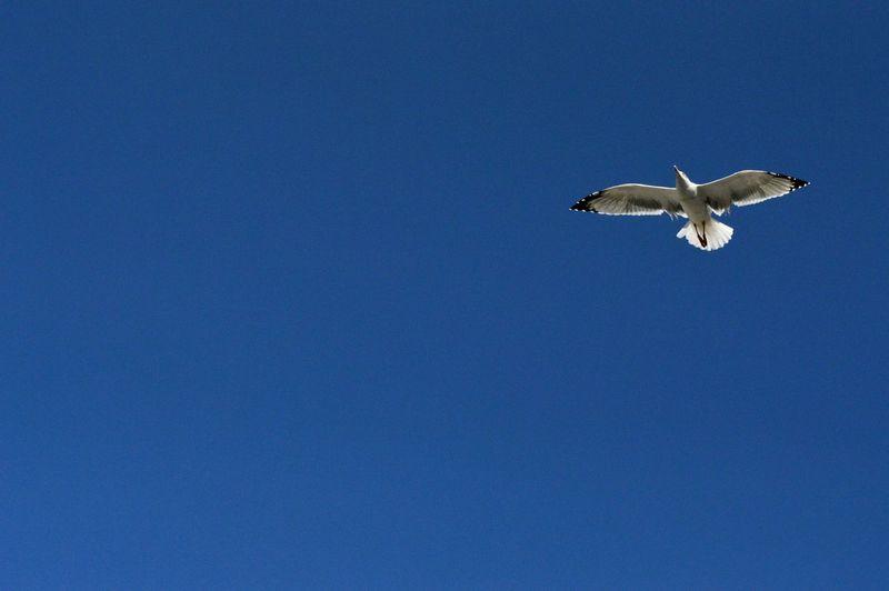 seagull - Birds are free :D Seagulls Blue Sky Birds_collection Freedom Flyingbirds