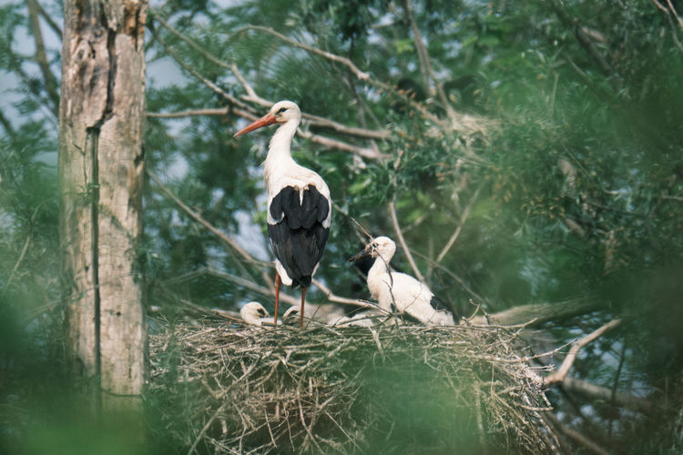 Stork family on a tree