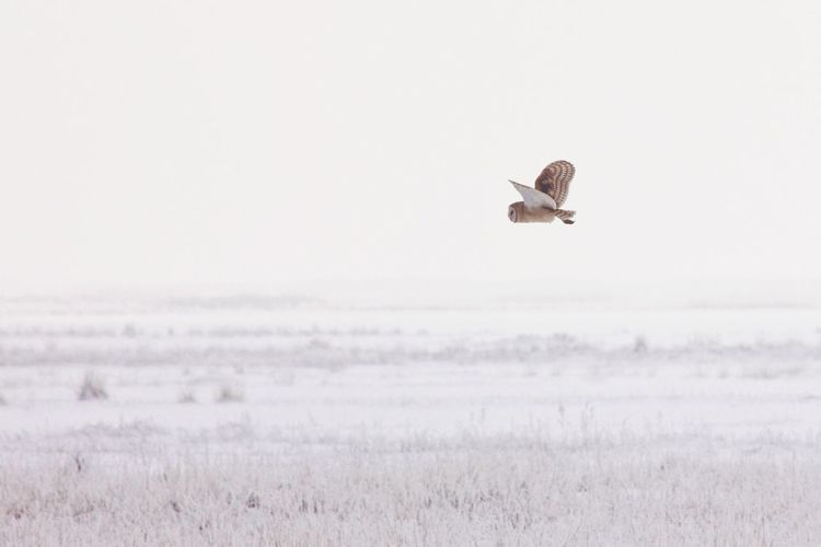 Owl flying over snowy land against clear sky during winter