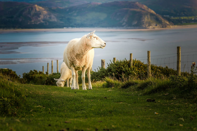 Wales Animal Themes Beauty In Nature Day Domestic Animals Field Grass Grazing Green Color Highland Cattle Lake Landscape Livestock Mammal Mountain Nature No People One Animal Outdoors Scenics Sheep Sky Standing Water
