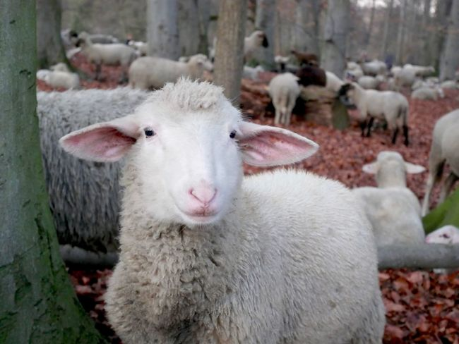 Woolly sheep portrait Close Up Autumn Winter Cute Schafe Nobody Farm Animal Mammal Animal Themes Livestock Animal Domestic Animals Domestic Pets Sheep Group Of Animals Vertebrate No People Day Portrait Focus On Foreground Nature Young Animal Agriculture