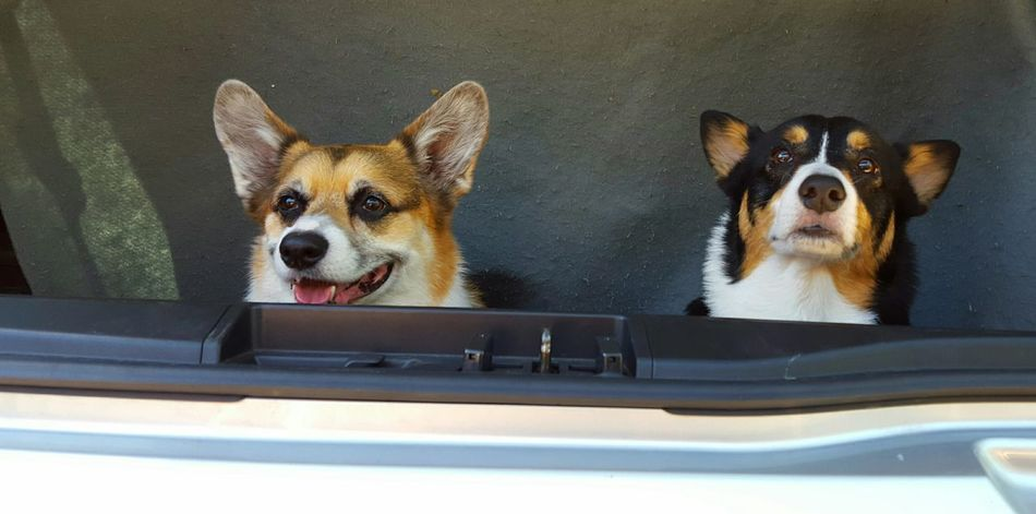 ready for a day of summer dog park play!!Pets Corner Welsh Corgi Corgis Going Out Dogs In Cars Animals The Moment - 2015 EyeEm Awards Summer Dogs Summer Views Capture The Moment Two Are Better Than One