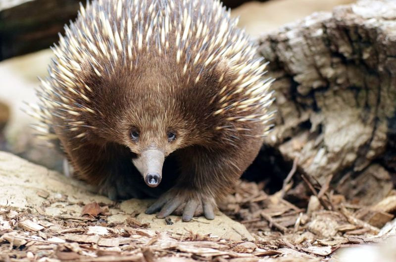Echidna Australia Echidna Wood Animal Themes Animal Wildlife Animals In The Wild Brown Close-up Coming Your Way Day Leaves Long Snout Mammal Melbourne Monotreme Movement Nature No People One Animal Outdoors Pootling Portrait Spines Spiny Anteater Walking