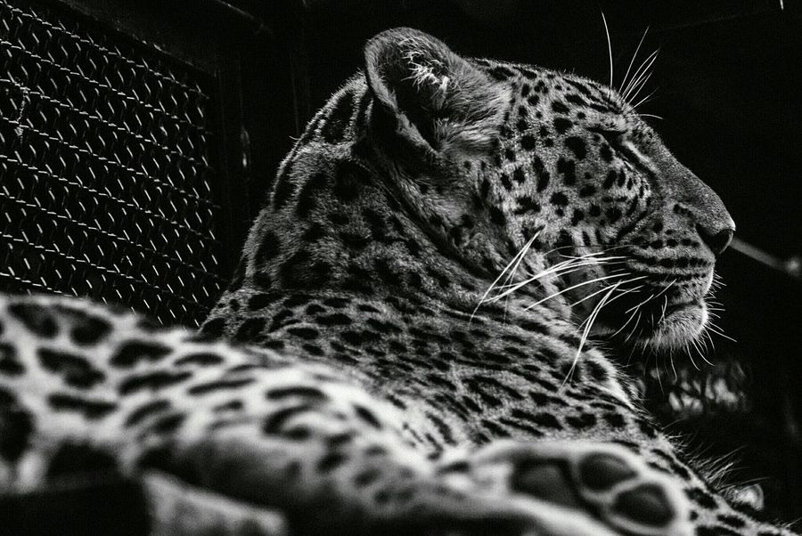 Leopard - Rome,Italy. Zoo Animal Leopard Streetphotography Nature On Your Doorstep Blackandwhite Black And White Black & White Jungle Pets Corner