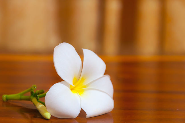 White Plumeria Pudica Beauty In Nature Close-up Day EyeEmNewHere Flower Flower Head Flowers Flowers, Nature And Beauty Flowers,Plants & Garden Fragility Freshness Indoors  Nature No People Petal Plumeria Plumeria Blossoms Plumeria Flowers Table White Color White Flower