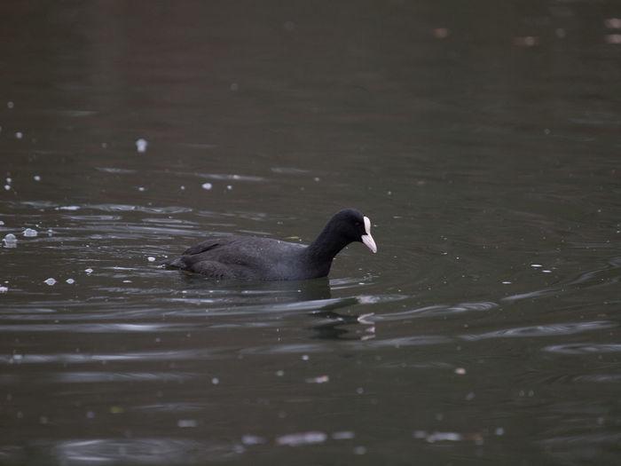 Duck swimming in lake