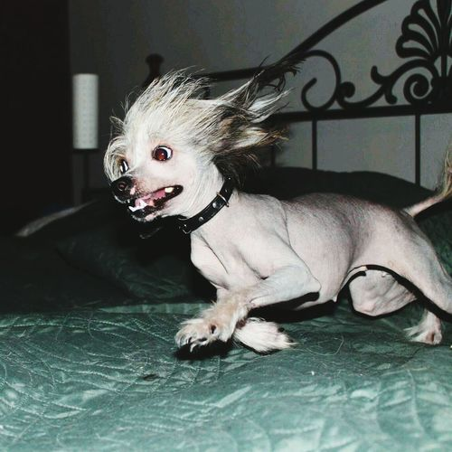 CRAZY CRESTED!!! ;D Chinese Crested I Love My Dog Bestfriend Crazy Love