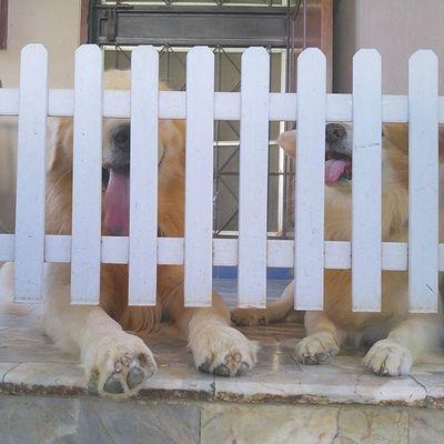 แบร่ Waiting Dog Pet Pet13 Goldenretriever