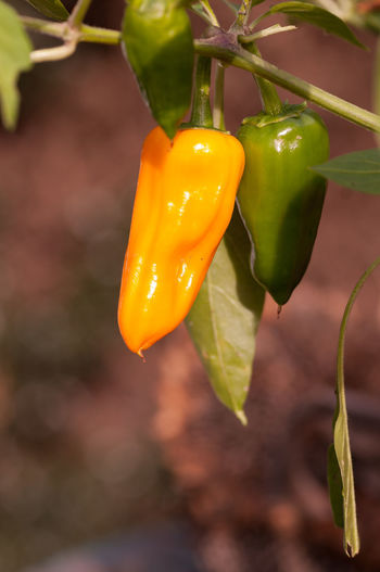 Close-up of yellow chili peppers on plant