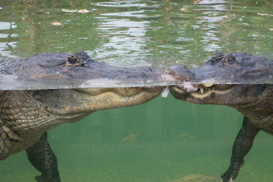 Alligator Animal Themes Animal Wildlife Animals In The Wild Crocodile Day Lake Mammal Nature No People One Animal Outdoors Reptile Swimming Underwater Water