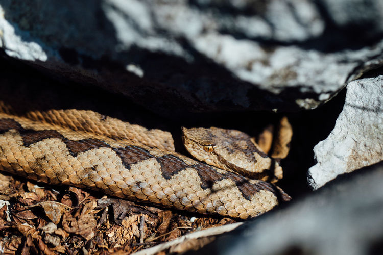 Nose horned viper Reptile Close-up Animal Themes Animal Wildlife Snake Nature Vertebrate Animal Scale Textured  Natural Pattern Poisonous Viper  Viperidae Reptile Nature Macro Photography EyeEm Best Shots Springtime