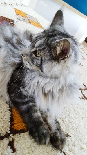 Louie Maine Coon Cat Pets Domestic Cat Close-up Feline Cat Whisker At Home Domestic Animals Home Animal Eye Kitten Yellow Eyes Adult Animal Tabby Cat