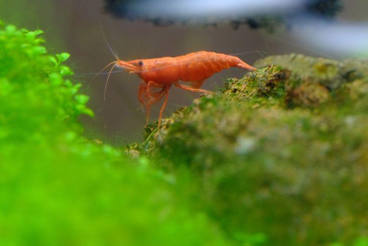 飼っているスーパーレッドチェリーシュリンプです。その2。 Red Cherry Shrimp Shrimps Animal Animal Themes Animal Wildlife Animals In The Wild One Animal Fish Vertebrate