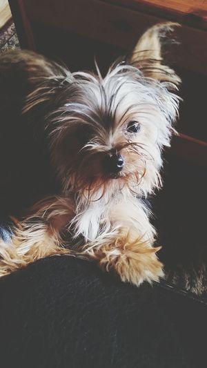 sweetie. Puppy Sweet Baby Soph Yorkie TeaCup