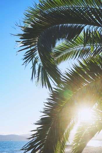 🌴 Palm Tree Palm Leaf Nature Palm Frond Growth Beauty In Nature Leaf Tree Discover  France Green Color Frond Cannes Tranquility Outdoors Clear Sky Branch Sky Island Peace Côte D'Azur Summer Travel Wanderlust Colorful