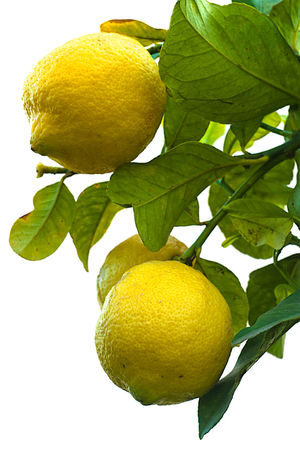 Lemons tree isolated on white background Isolated Branch Citrus Fruit Close-up Day Food Food And Drink Freshness Fruit Growth Hanging Healthy Eating Isolated White Background Leaf Lemon Lemon Tree Lemon Tree Leaves Lemon Trees Lemons Low Angle View Nature Outdoors Tree White Background Yellow