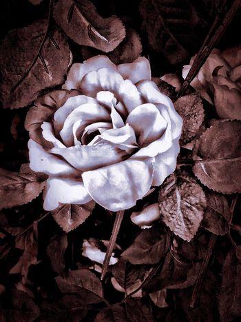 Silk Rose Flower Petal Flower Head Rose - Flower Flowers LPhoneography Creative Beautiful