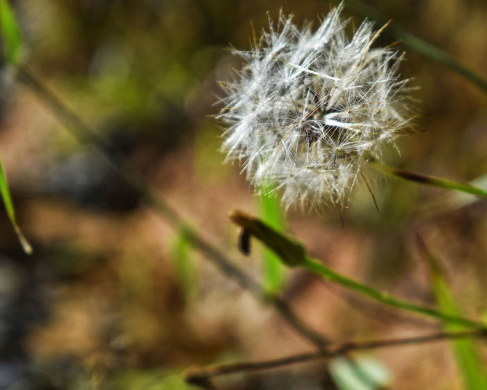 Flower Dandelion Fragility Nature Plant Growth Softness Close-up No People Focus On Foreground Day Outdoors Uncultivated Freshness Beauty In Nature Flower Head