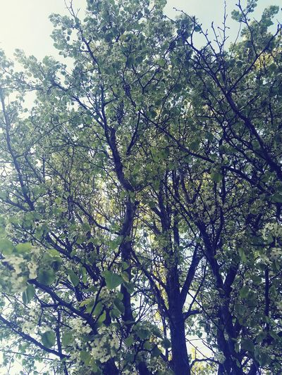 Look Up Sometimes Lookingup Looking Up Peace Peace And Quiet Roots Beauty In Nature Beautiful Nature Illusion Painting Or Not Tree Branch Backgrounds Full Frame Sky Close-up Green Color Plant Life Blossom Stem Cherry Blossom In Bloom Bud Pollen Botany Blooming Growing Focus On The Story Delicate