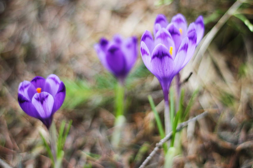 Flower Purple Fragility Petal Plant Nature Beauty In Nature Growth Freshness Flower Head Field Focus On Foreground Close-up Day No People Crocus Outdoors Blooming CarpathianMountains Dragobrat,Ukraine Carpathian Nature Dragobrat EyeEm Taking Photos EyeEm Best Shots Visual Feast The Great Outdoors - 2017 EyeEm Awards Shades Of Winter
