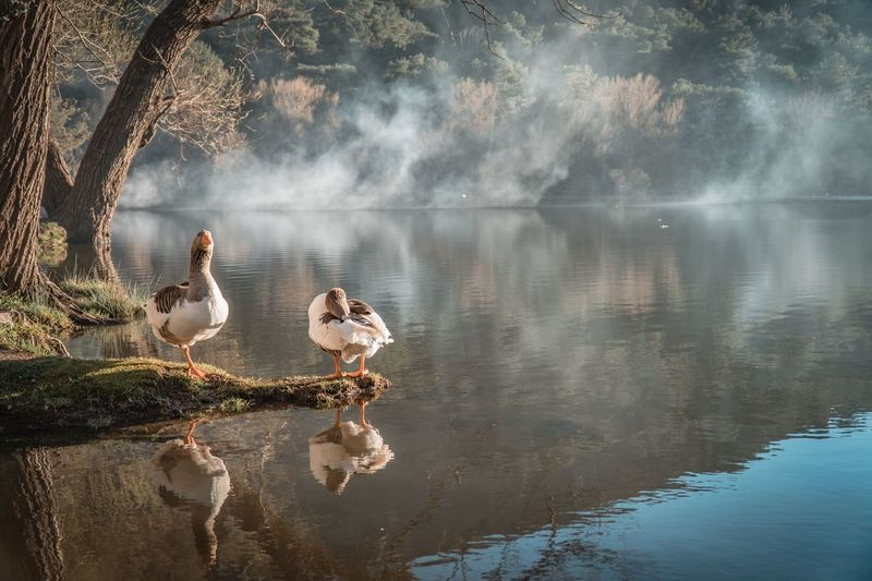 Reflection of geese on lake during foggy weather