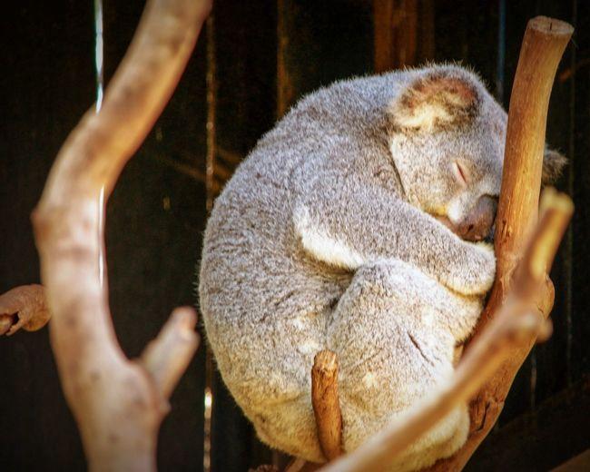 Close-up of a sleeping koala