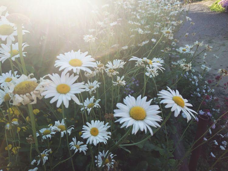 Daisies on the beach Irakli Daisy 🌼 Flower Beauty In Nature Daisy Flower Daisy
