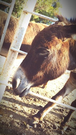 Little Donkey Eyeemphotography Urbanphotography Nature Photography Mobilephotography Farm Animals Eyeem Best Shots - Animals Eastvale, Ca Street Photography Eye4photography