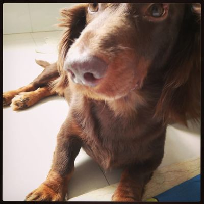 love! I Love My Dog Dog Doglover Animal Head  Dog Love Dog❤ Pets Taking Photos Cute Pets Doggie Dogs Of EyeEm Dog Lover Check This Out Dachshund Sausagedog Dachshundlove