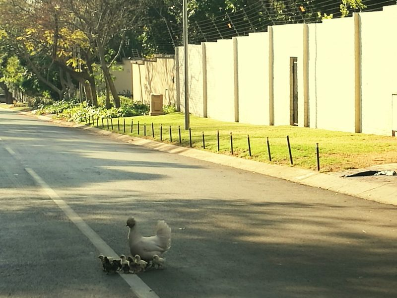 Battle Of The Cities South Africa Sandton Best City In The World! Mother Hen with Numerous Chicklets . Tooooooo Beautiful Chikens Roaming Free In The City Freerange The Drive