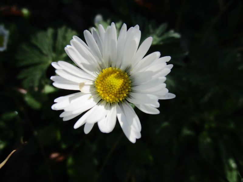 No Filter No Edit Daisy Flower Light And Shadow Flower Petal Nature Fragility Flower Head Beauty In Nature White Color Close-up Blooming Focus On Foreground Outdoors Day No People