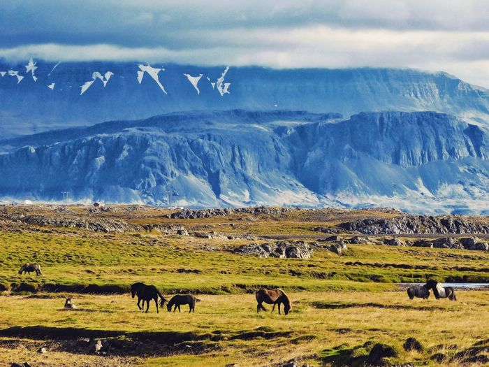 Horse Mountain Landscape Wildlife Awesome Iceland Wildlife & Nature Animal Themes Nature Scenics Mammal Livestock Grazing Beauty In Nature Grass Field Sky Large Group Of Animals Tranquil Scene Outdoors Pasture Beauty In Nature My Year My View