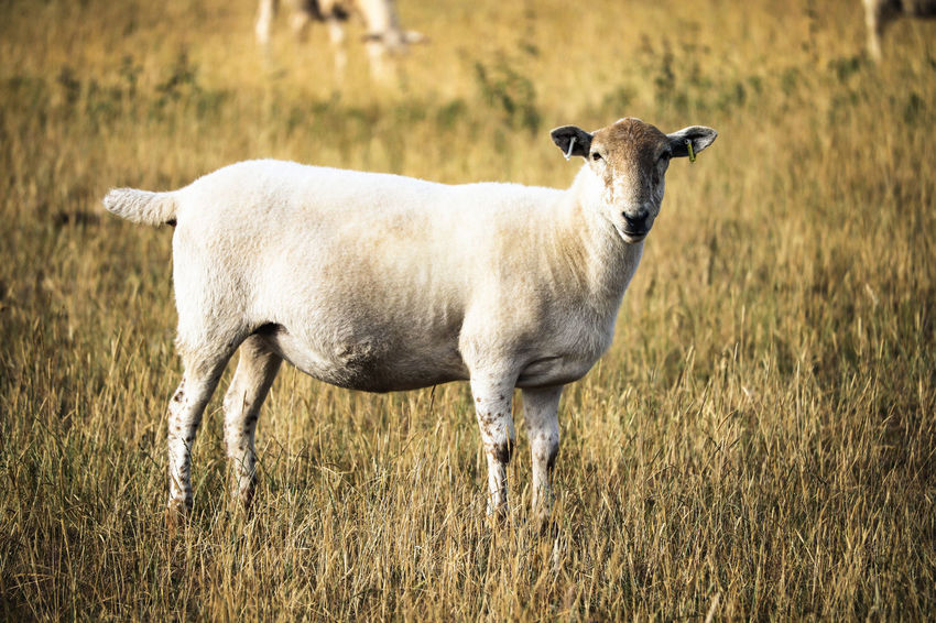 Sheep in grassy field. Farm Farmland Field Grass Lamb Animal Animal Themes Animals Day Farming Field Grass Group Of Animals Lambs Land Livestock Looking At Camera Mammal Nature No People Plant Portrait Sheep Standing Wool