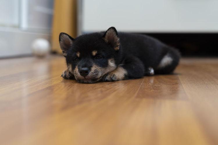 Portrait of dog lying down on hardwood floor