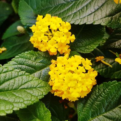 Yellow Flower Leaf Nature Freshness Beauty In Nature Fragility Growth Plant Day Close-up Flower Head Green Color Outdoors No People Petal Lantana Camara