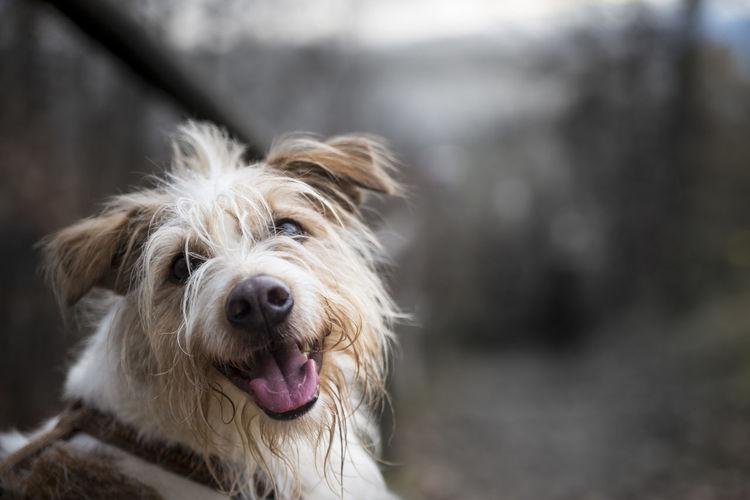Dog Domestic Animals Focus On Foreground Idefix Kromforländer Mammal No People One Animal Pets Smart Terrier