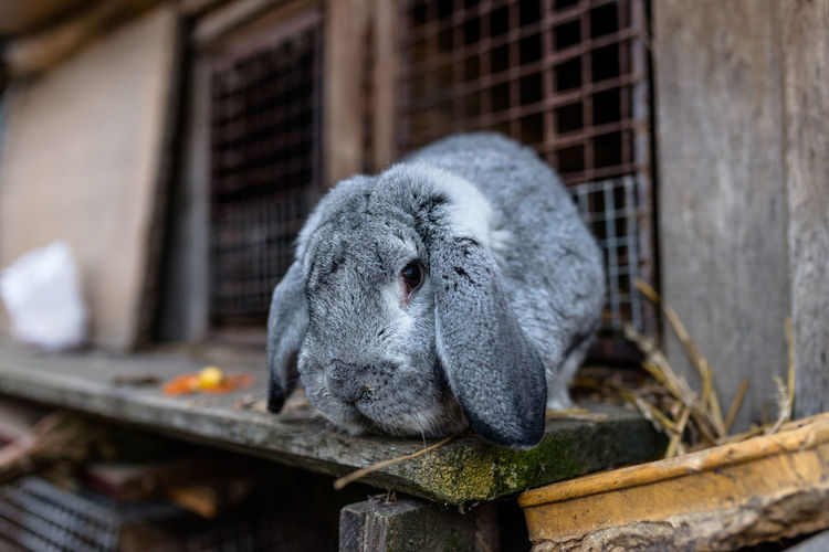A close-up shot of a breeding rabbit standing in front of a wooden cage.